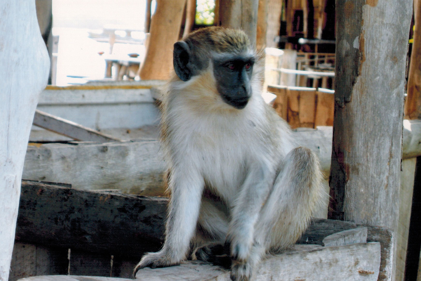 Callithrix monkey at Lamin Lodge in The Gambia