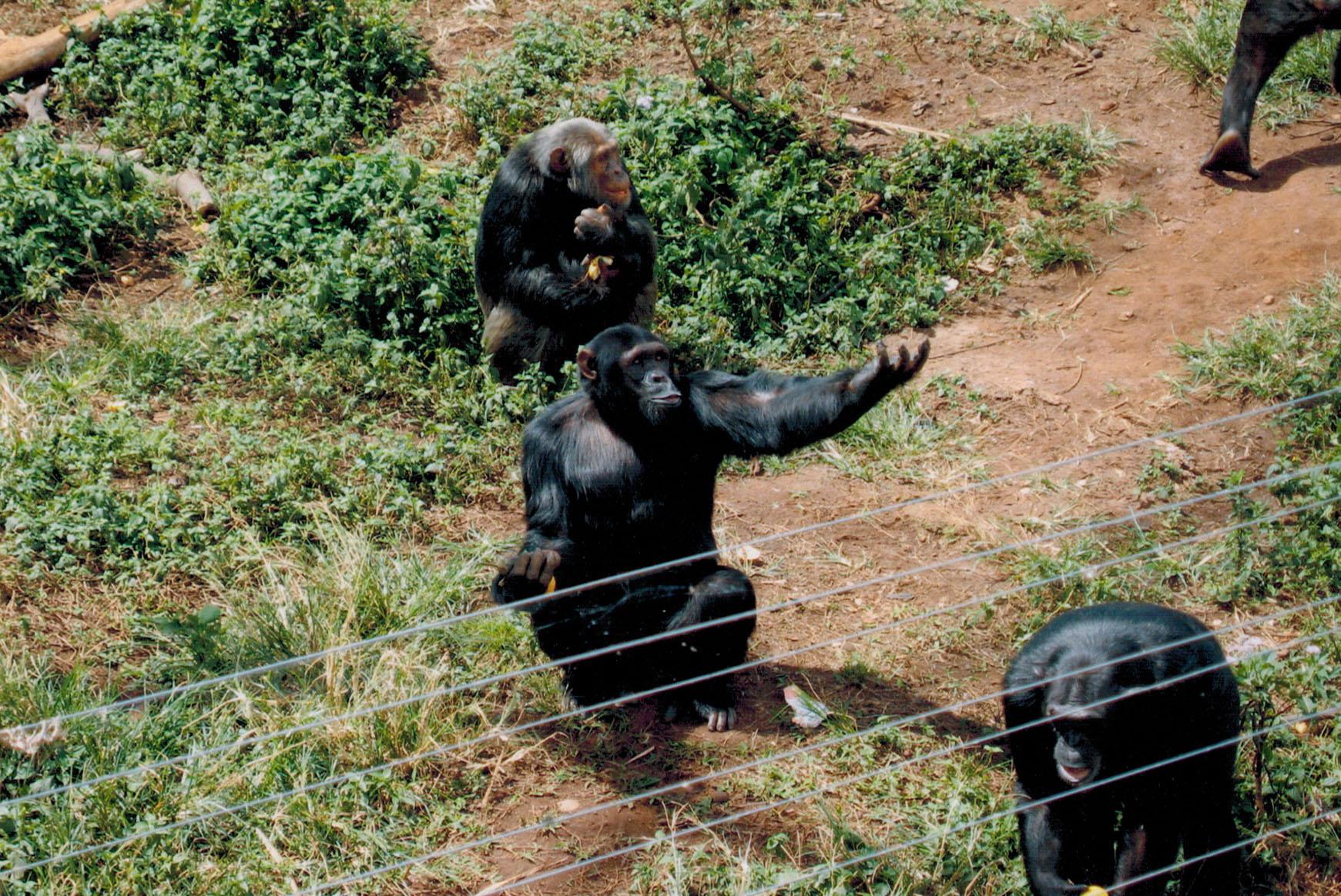 Chimpanzees at feeding time on Ngamba Island in Uganda