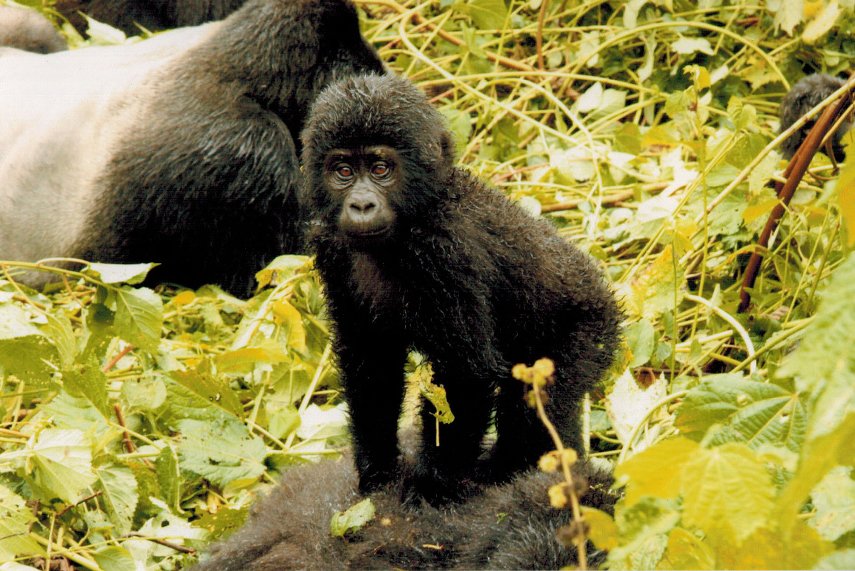 Uganda – Bwindi Impenetrable Forest