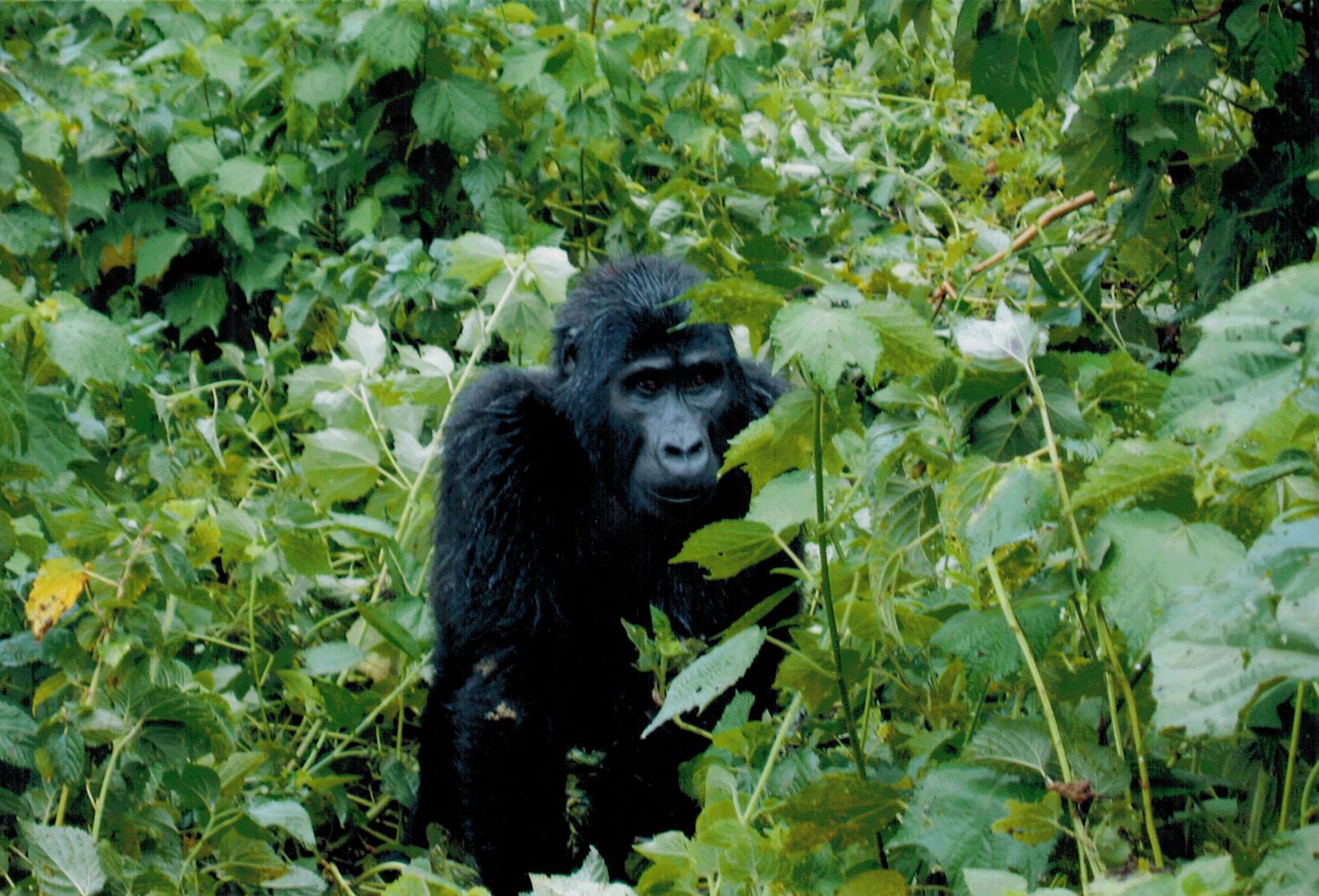 Mountain gorilla in Uganda's Bwindi Impenetrable National Park