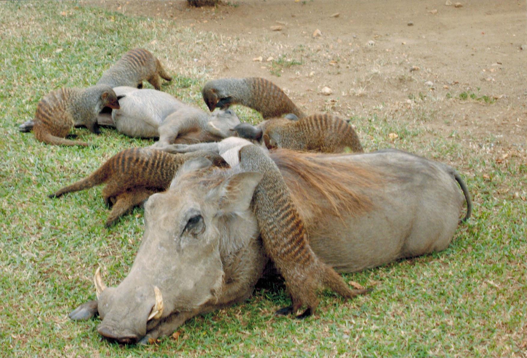Mongoose grooming warthogs at Mweya Safari Lodge in Uganda