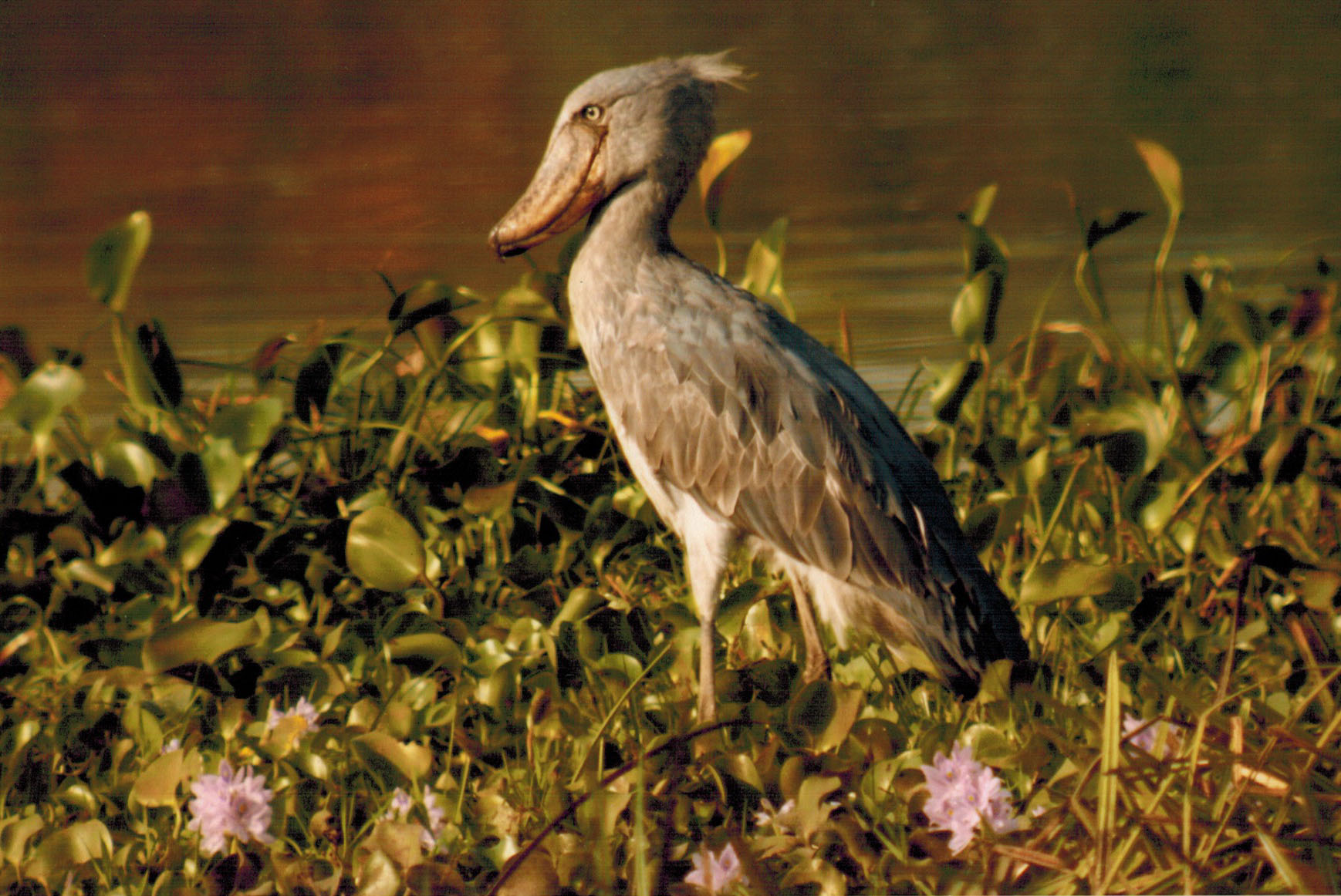 Shoebill in Uganda's Murchison Falls National Park
