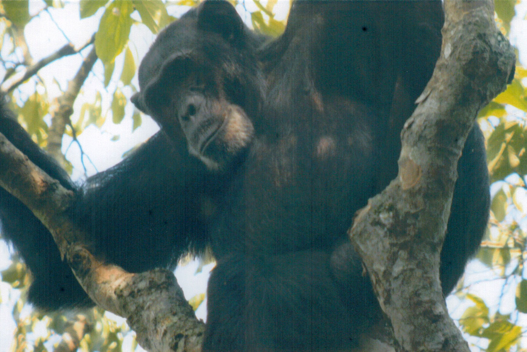Male chimpanzee in Uganda's Kibale National Park