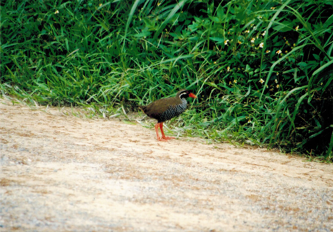 Japan – Okinawa and Amami Birding