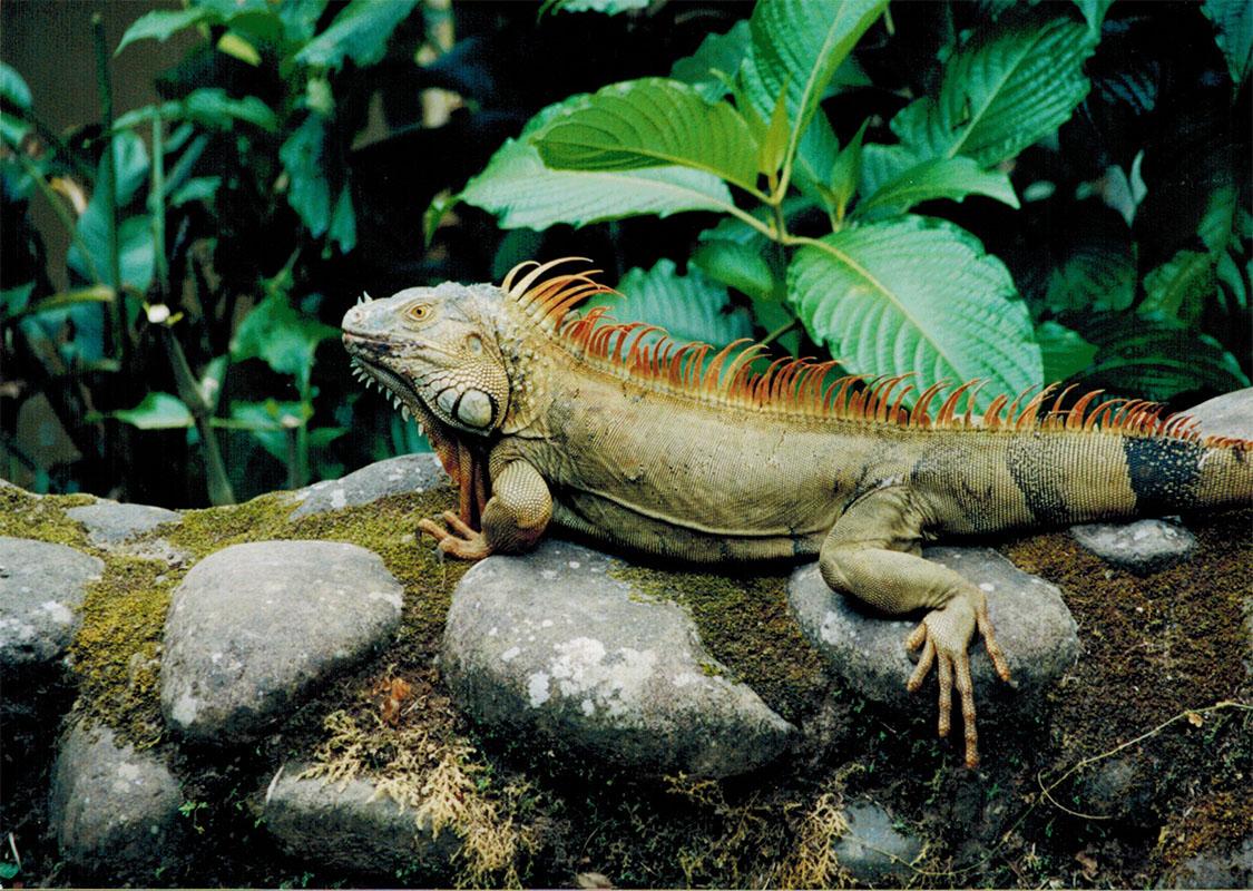 Iguana in Costa Rica