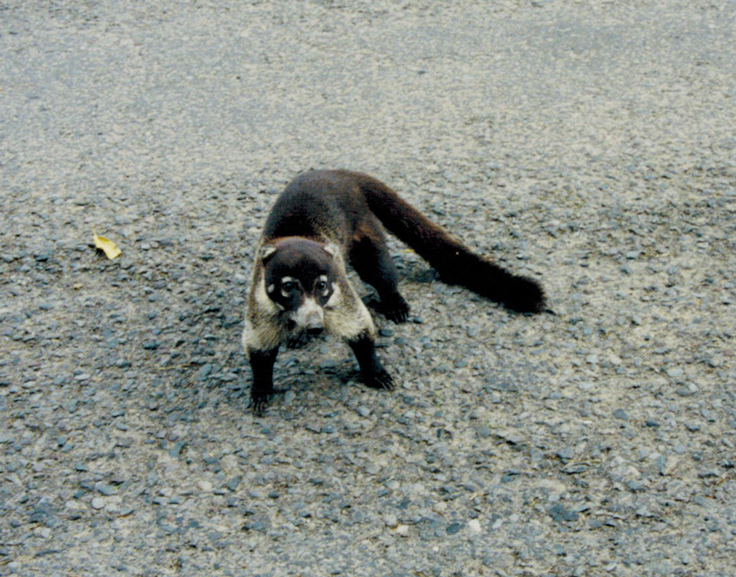 Coatimundi in Costa Rica