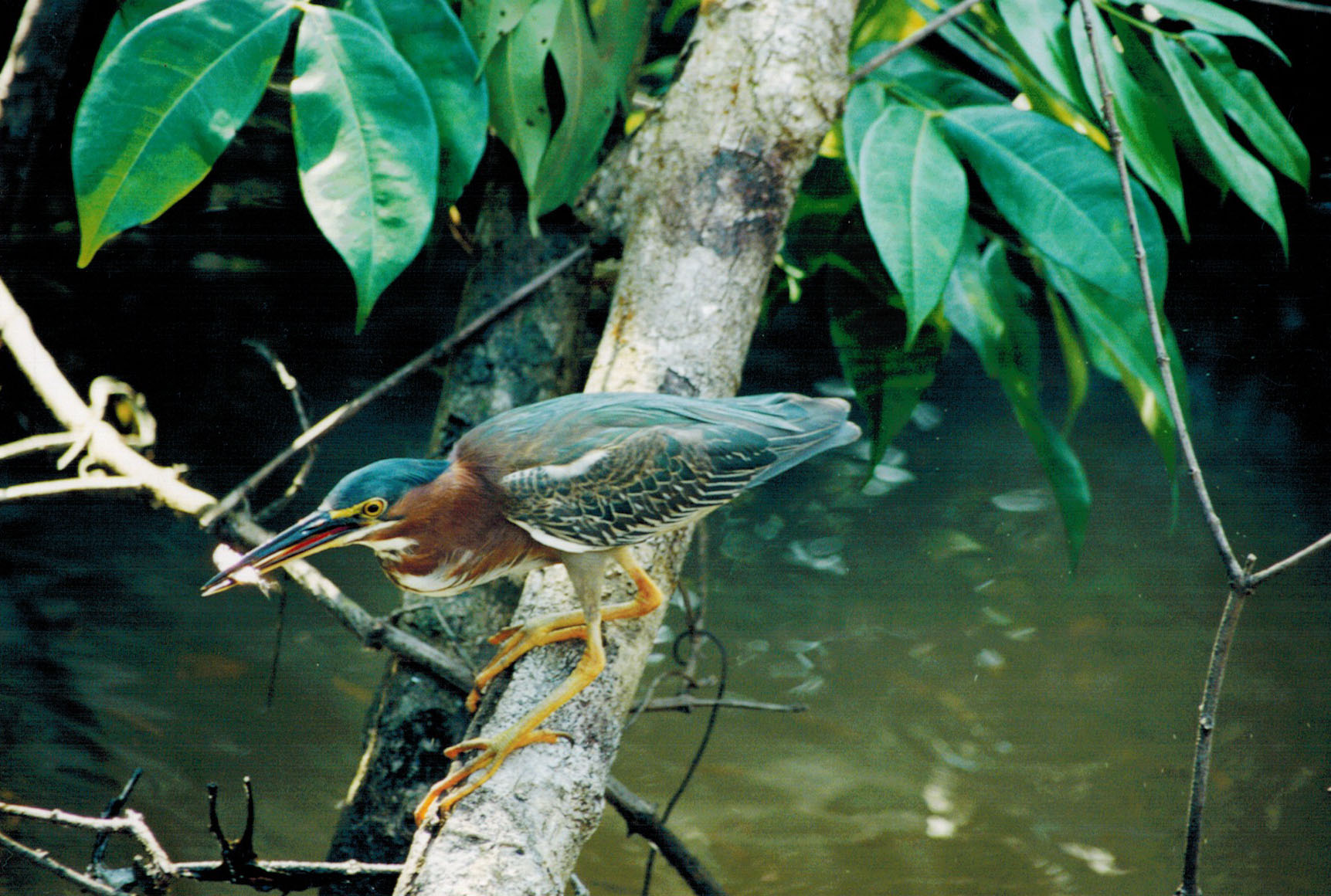 Green heron in Tortuguero National Park