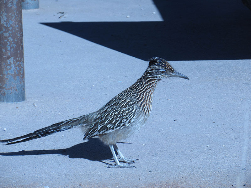 Roadrunner visiting Big Bend's Chisos Basin campground