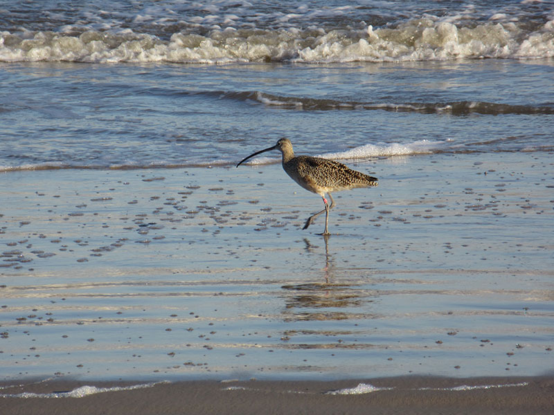 Long-billed curlew at Padre Island National Seashore