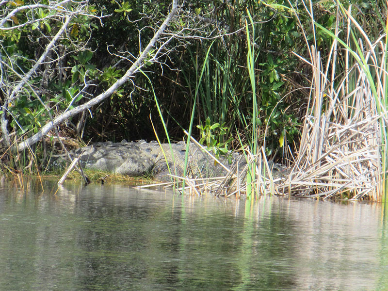 Crocodile at Nine Mile Pond in Everglades NP