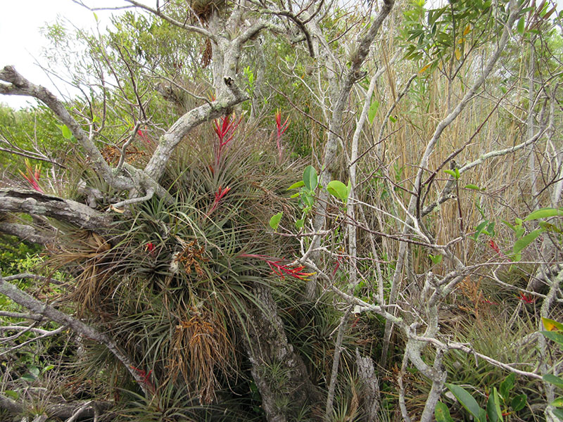 Epiphytes in south Florida
