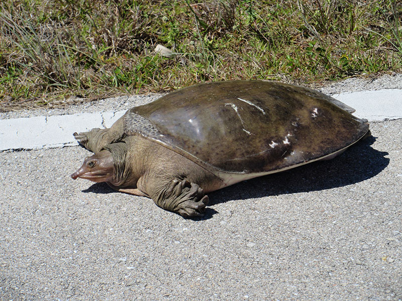 Florida softshell turtle at Big Cypress Preserve