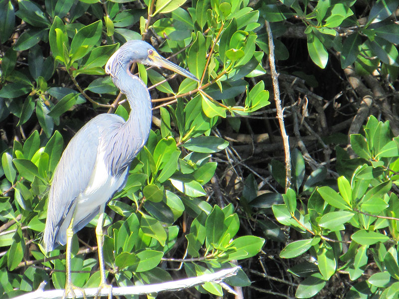Tricolored heron in Big Cypress Preserve