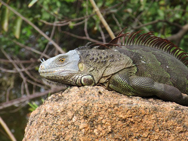 Iguana at Morikami Museum