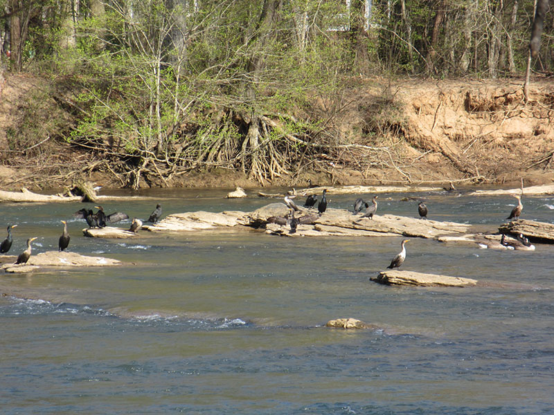 Island Ford shoals on the Chattahoochee River