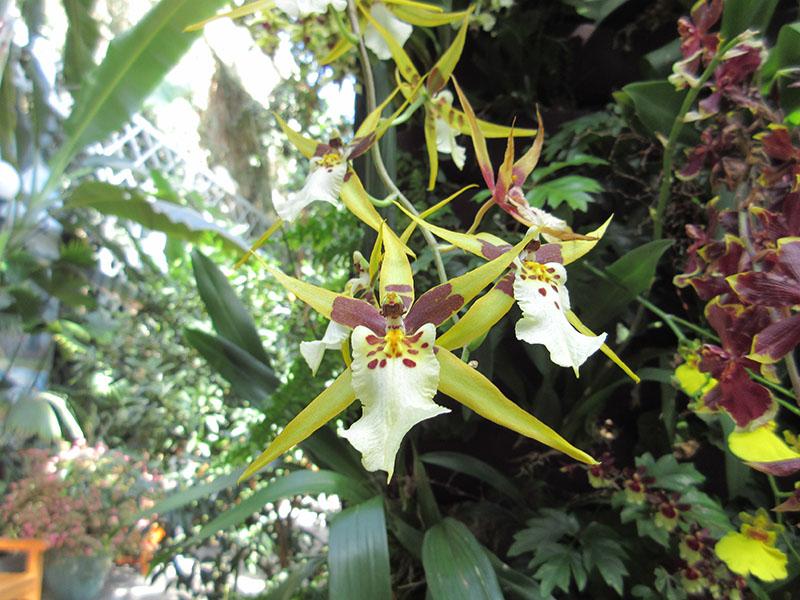 Orchid at U.S. Botanic Garden