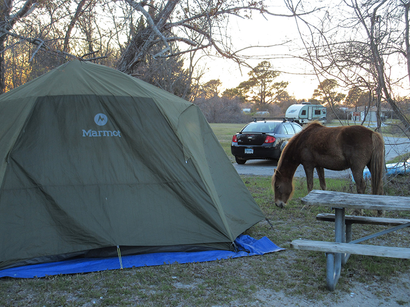 Horses in Assateague campground