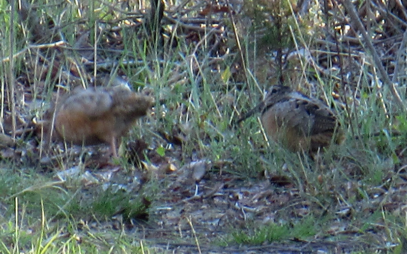 Woodcocks at Assategue