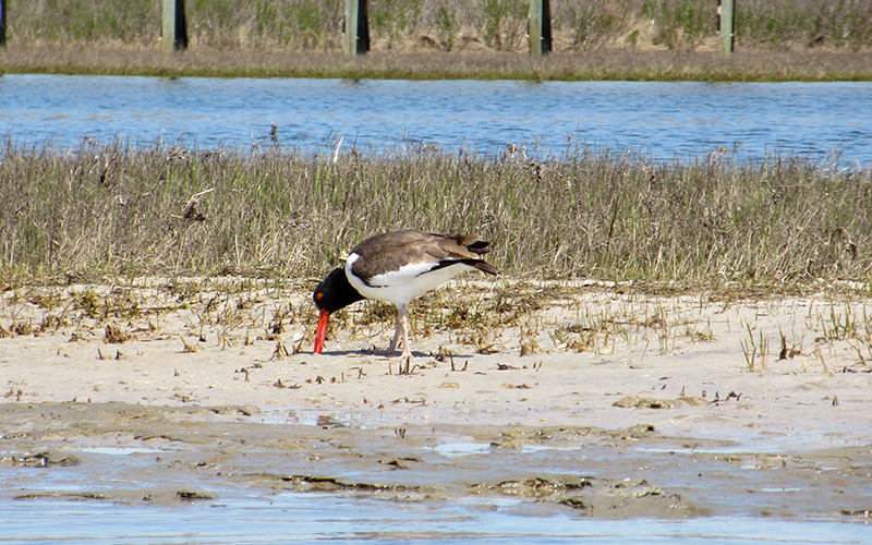 Oystercatcher at Assateague Island National Seashore