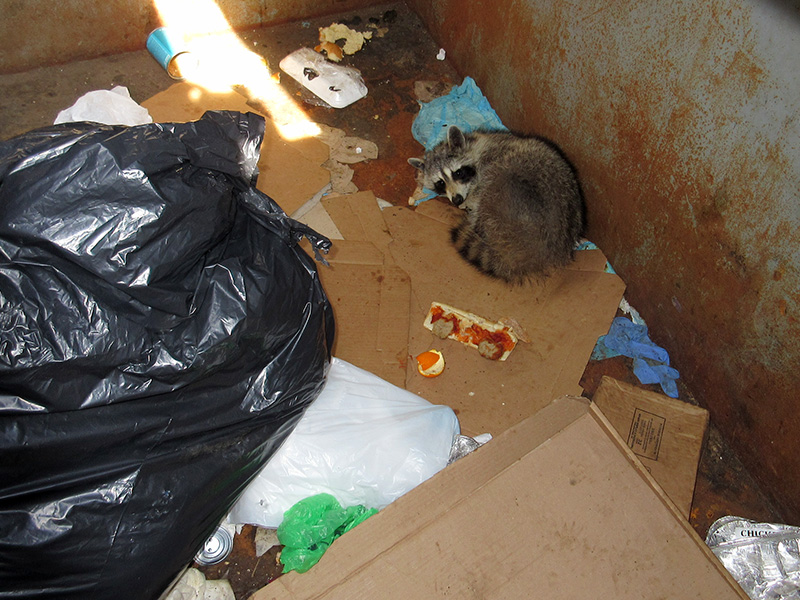 Raccoon at Gateway National Recreation Area