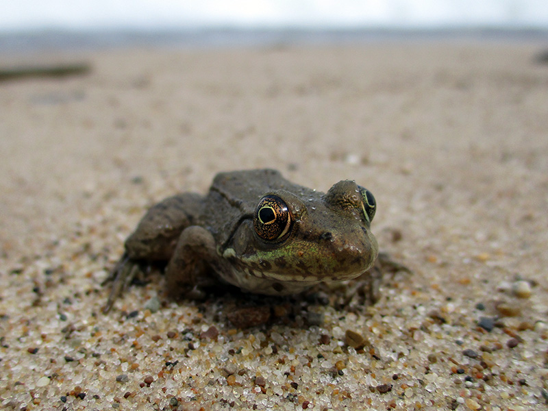 Green frog at Indiana Dunes National Lakeshore