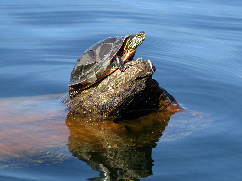 Painted turtle at Pictured Rocks National Lakeshore