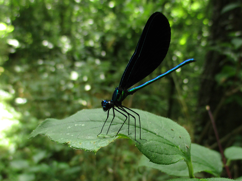 Ebony jewelwing damselfly at George Washington Carver National Monument