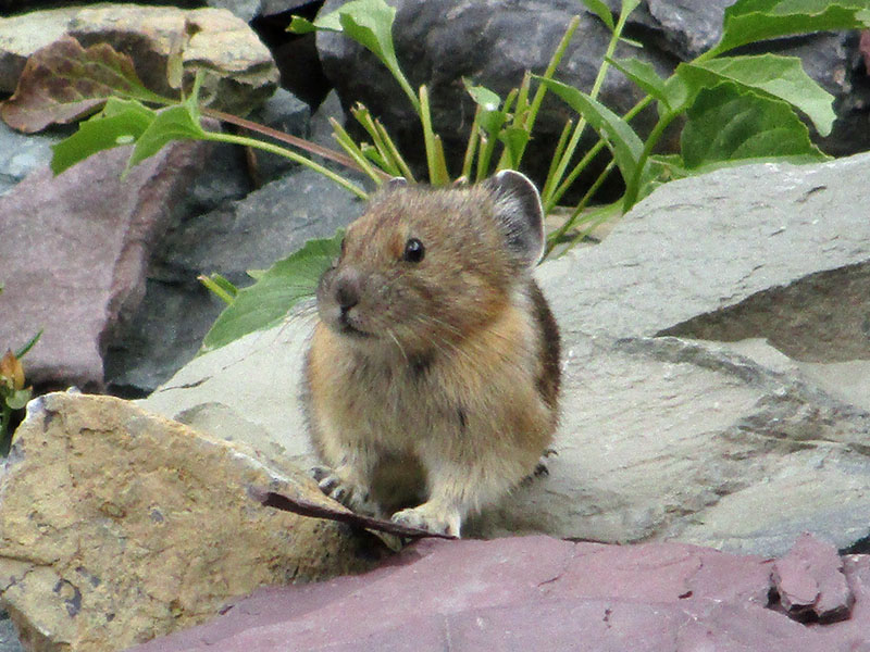 Pika at Glacier National Park