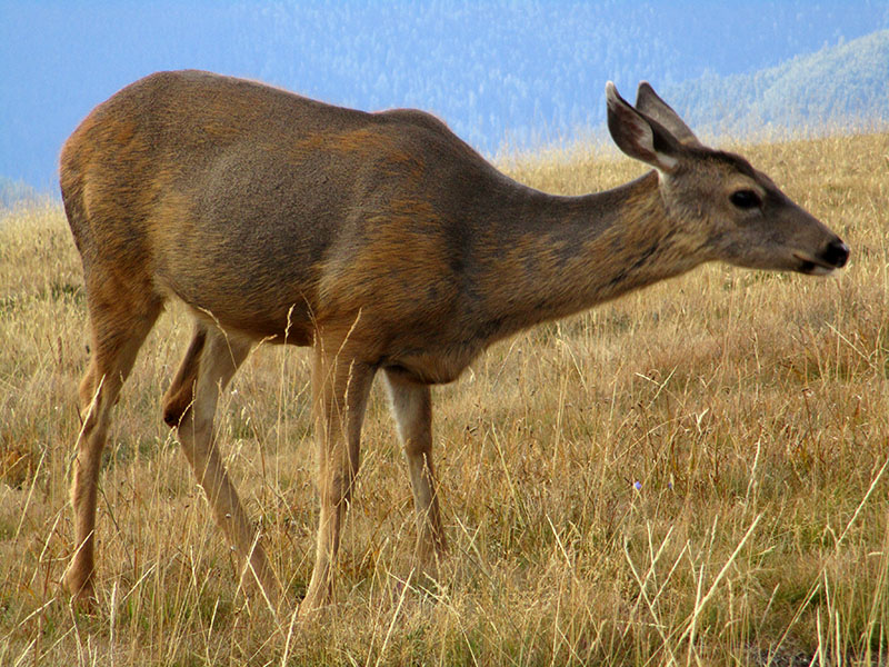 Black-tailed deer in Olympic National Park