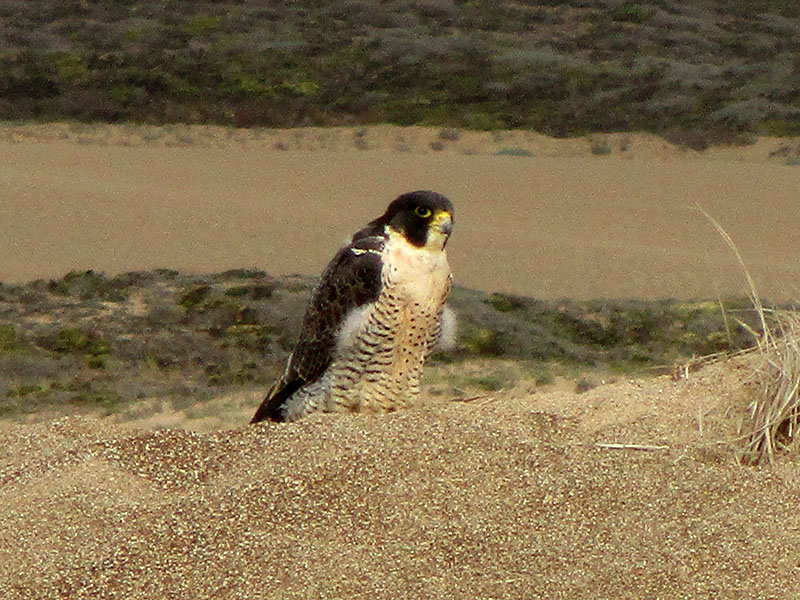 Peregrine falcon at Point Reyes National Seashore