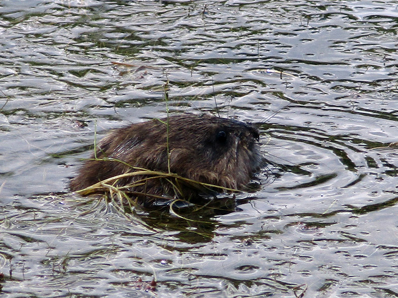 Muskrat at Missouri National Recreational River