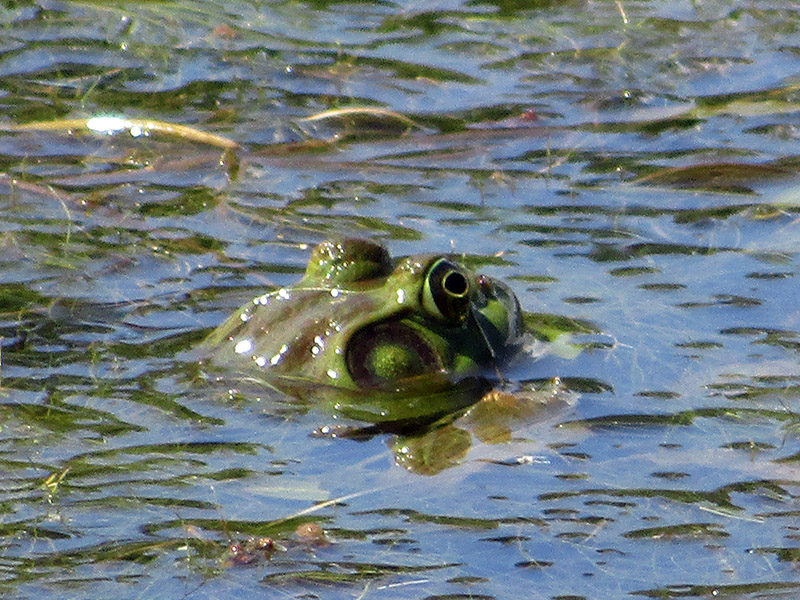 Bullfrog at Missouri National Recreational River