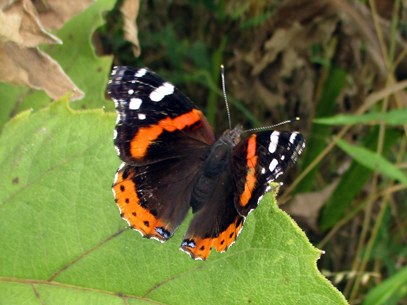 Red admiral butterfly at Missouri National Recreational River