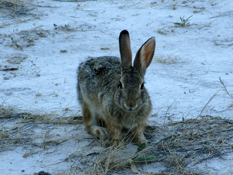 Eastern cottontail in Badlands National Park