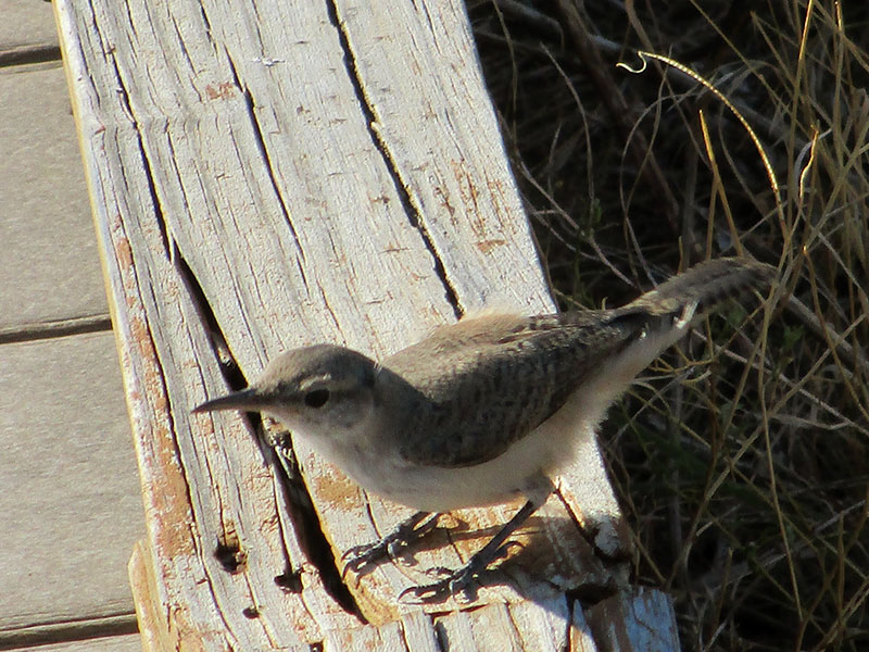 Rock wren in Badlands National Park