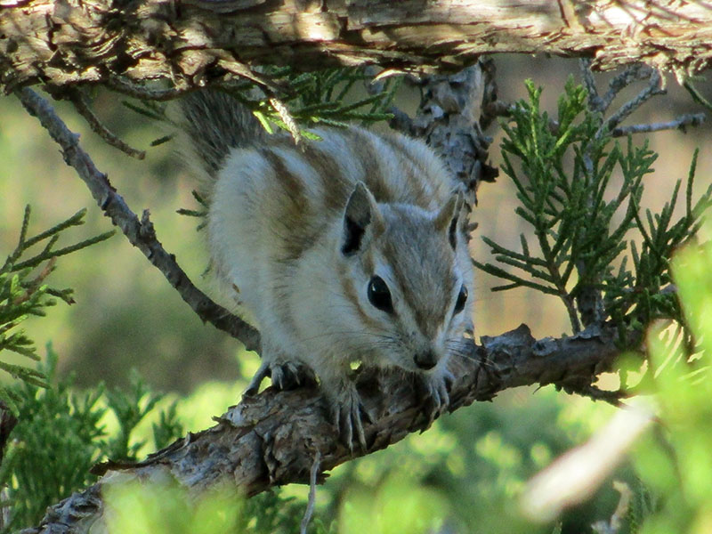Least chipmunk in Badlands National Park