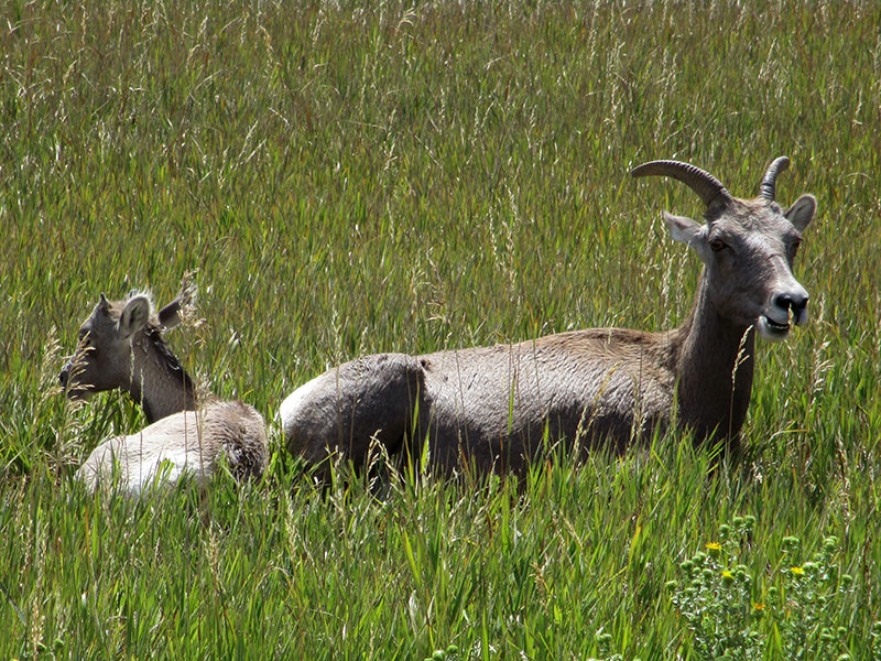 Bighorn sheep ewe and lamb in Badlands National Park