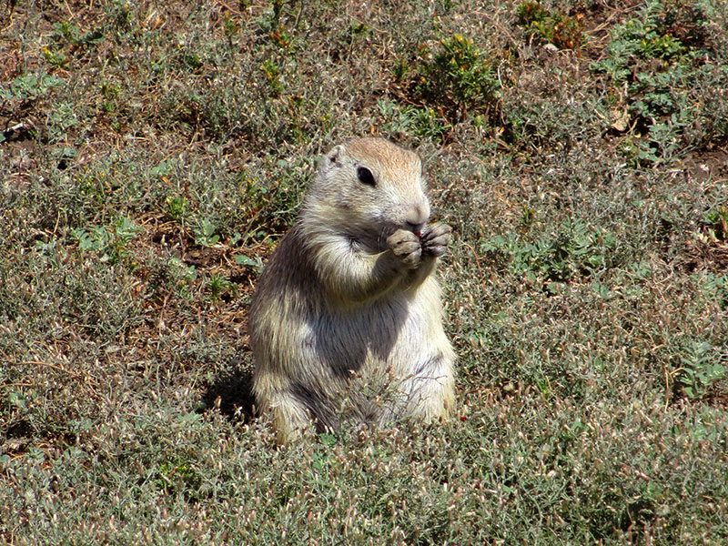 Prairie dog in Badlands National Park
