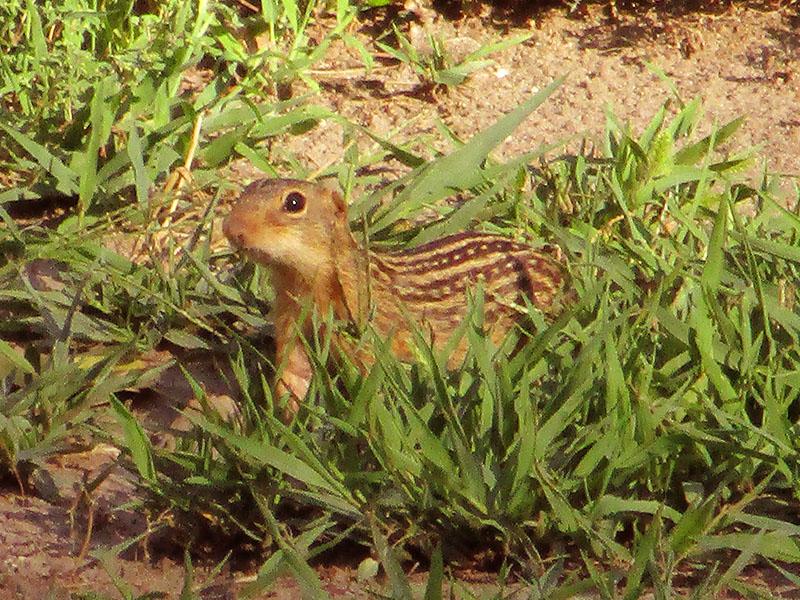 Thirteen-lined ground squirrel at Missouri National Recreational River
