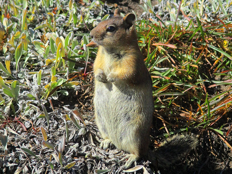 Golden-mantled ground squirrel at Mount Rainier National Park