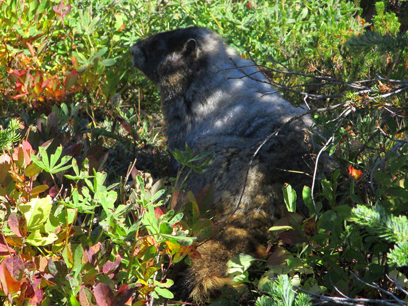 Hoary marmot at Mount Rainier National Park