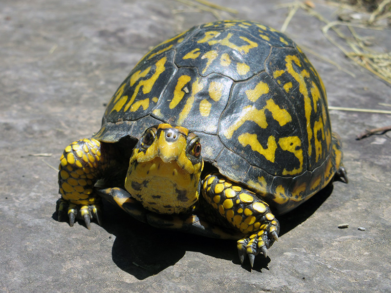 Eastern box turtle in Bluestone National Scenic River