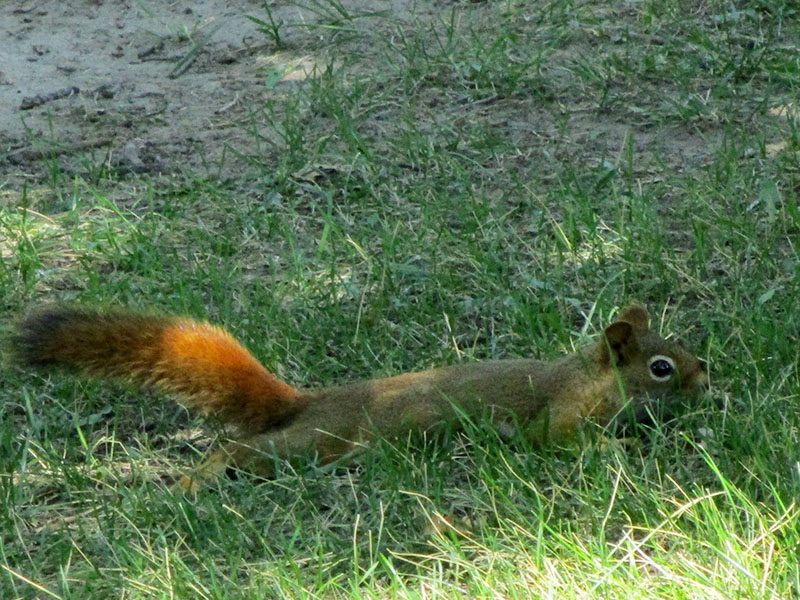 American red squirrel in Devils Tower National Monument