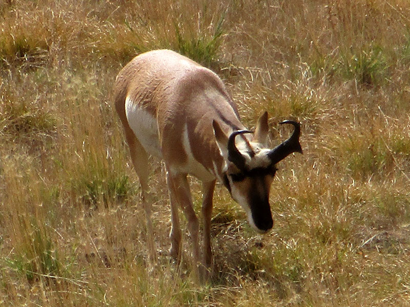 Pronghorn at Yellowstone National Park