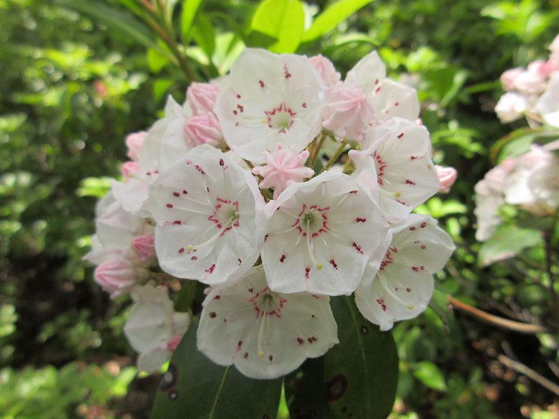 Mountain laurel blooming in Shenandoah National Park