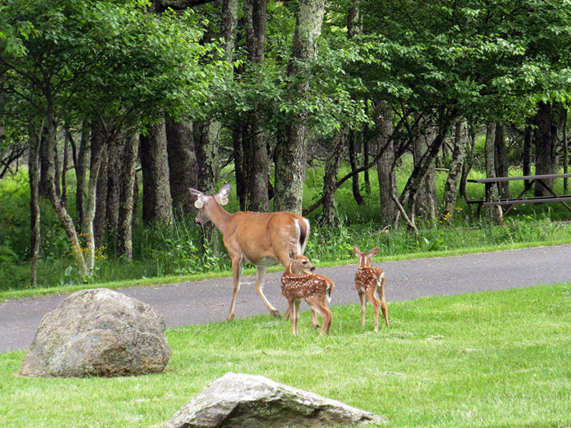 Deer and fawns at Shenandoah National Park