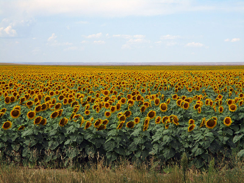 Sunflowers near Badlands National Park