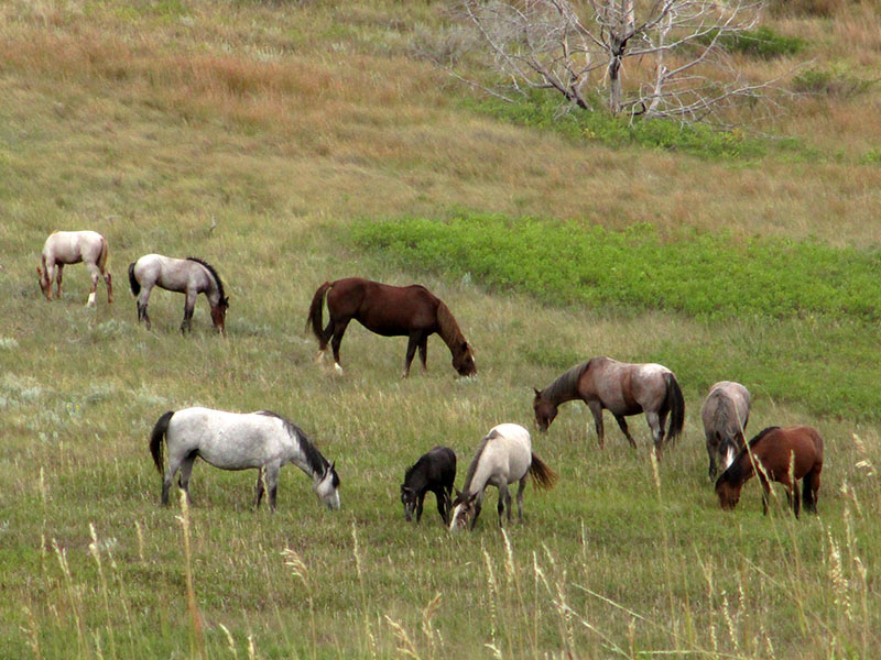 Feral horses in Theodore Roosevelt National Park