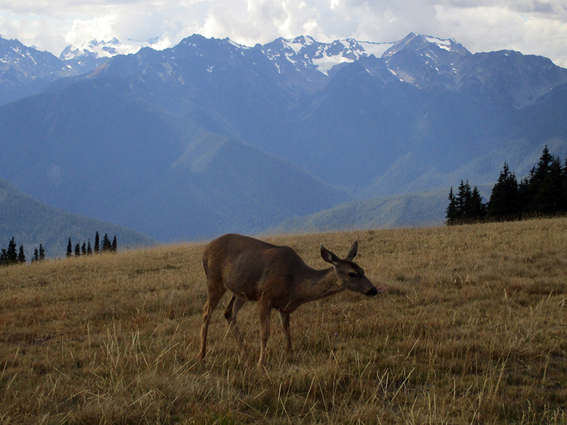 Black-tailed deer at Olympic National Park's Hurricane Ridge