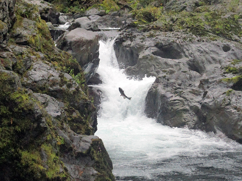 Salmon in Olympic National Park's Sol Duc River